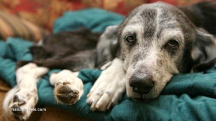 Sick-Old-Dog
