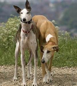 thGreyhound Dog Breed Pictures